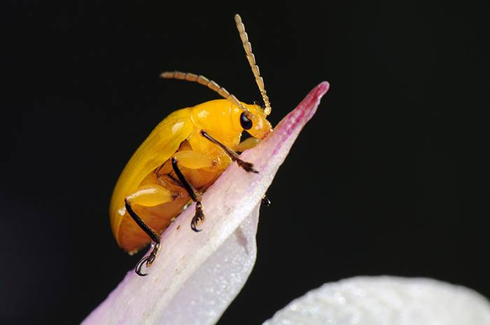 Yellow Beetle on Orchid