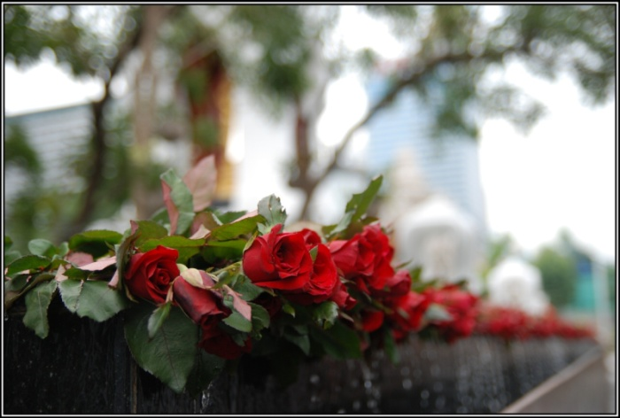 row_of_roses