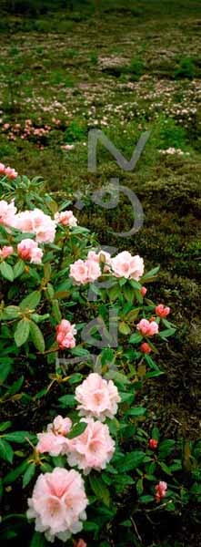 Rhododendrons galore
