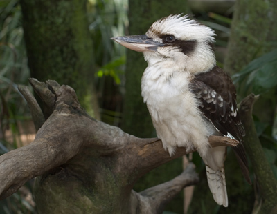 Kookaburra at  Rest