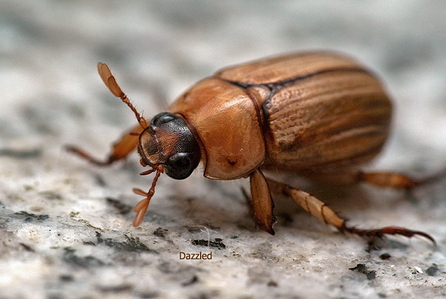A beetle dazzled by flash light after a crash landing