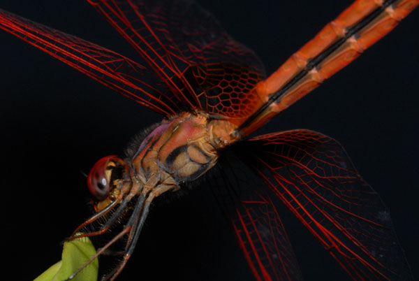 Dragonfly anatomy