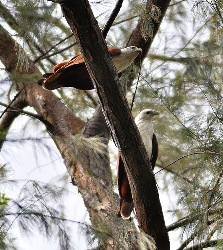 White-bellied Fish Eagles at East Coast Park