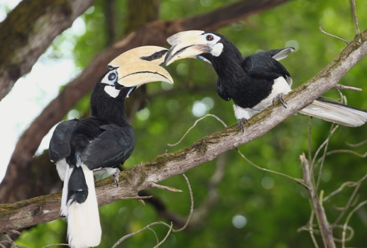 oriental pied hornbills at changi