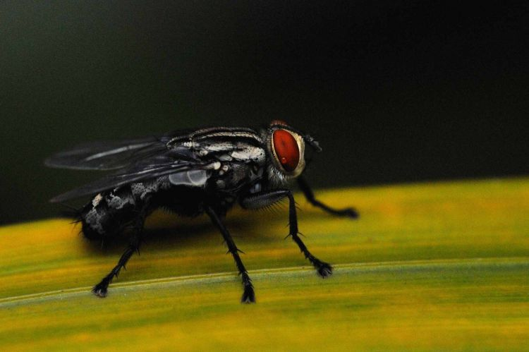 A crying Housefly