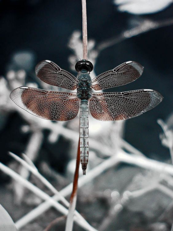 Infra Red Dragonfly