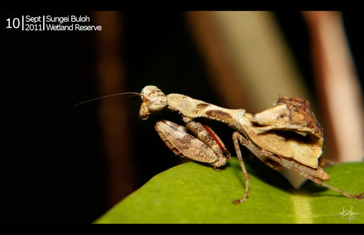 praying_mantis_01