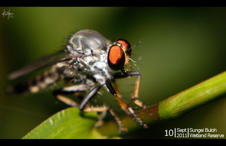 robberfly_01