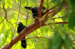 Asian_Glossy_Starling0003.JPG