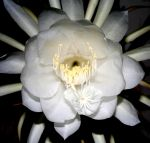 FL40_Night_Blooming_Cereus.jpg