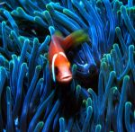 MALDIVES_ANEMONEFISH2.jpg