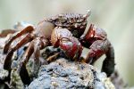 P_Ubin_mud_crab2.jpg
