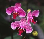 Purple_Spotted_Orchid_Cropped_21_.jpg