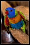 Rainbow_Lorrikeet_in_Cairns_Zoo-1_.jpg