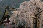 Sakura_dn_Temple_Japan.jpg