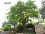 pagoda_tree_from_Jingshan_Park_3-_Beijing_China.jpg