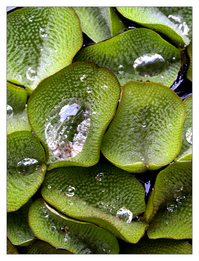 Taiwan Water Lily Leaves and Water Droplets