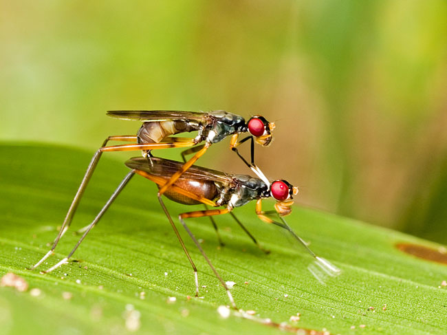 Mating White-Handed Fly