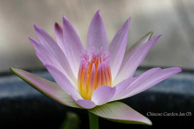 Lotus Flower at Chinese Garden