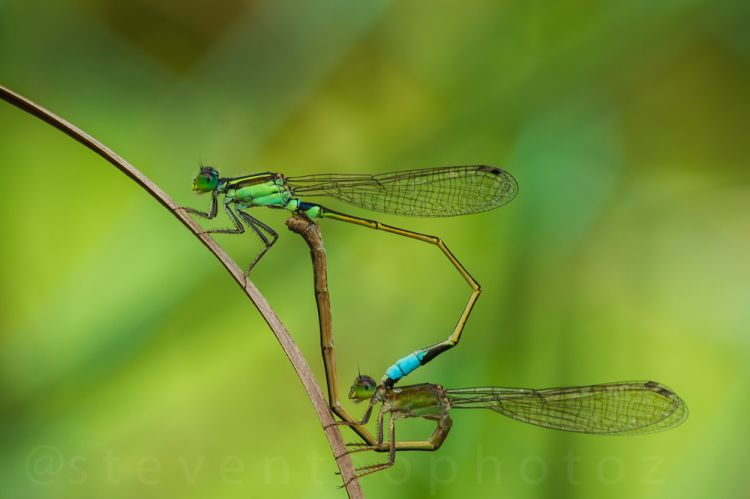 Damsel flies mating, some with ticks on the body