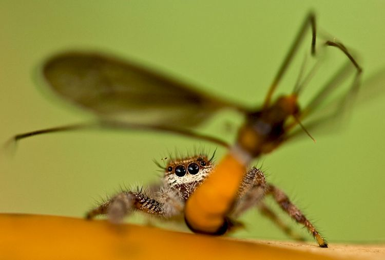Jumping spider having lunch