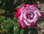 3914Red-Mauve_Rose-1_.jpg