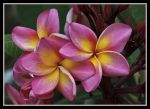 Place_a_Frangipani_in_her_hair-4_.jpg
