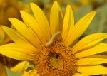Sunflower_Worm_7477.JPG