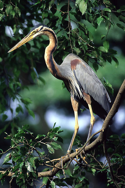 Purple Heron?