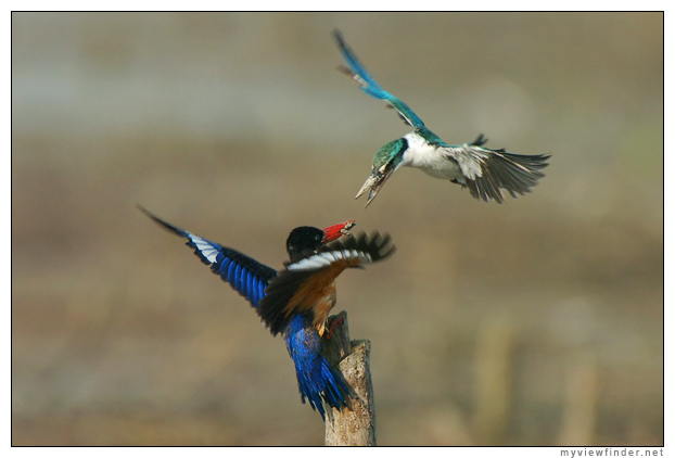 The Halcyon pileata or Black-capped Kingfisher