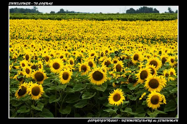 sunflower, france