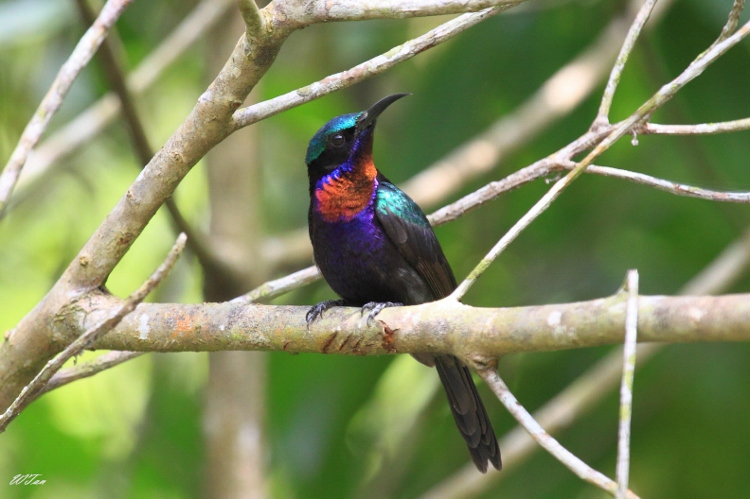Copper Throated Sunbird