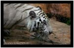 14447White_Tiger_2916_copy.jpg