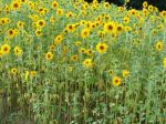 6288Beautiful_sunflower.jpg