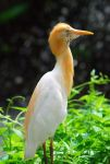 Cattle_Egret.jpg
