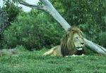 Lion-Male1of1-93408.jpg
