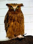 Malay_Fish_Owl.jpg