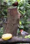 aRed_crested_Cardinal_3161.jpg