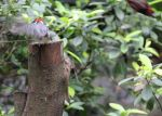 aRed_crested_Cardinal_5000.jpg