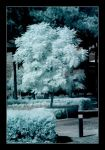 IR_curtin_tree_small.jpg